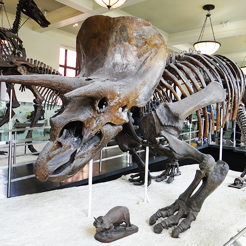 Musée d'Histoire Naturelle - Séjour Foot US à New-York